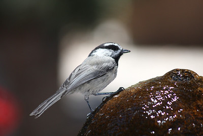 chickadee, up close, external fill flash