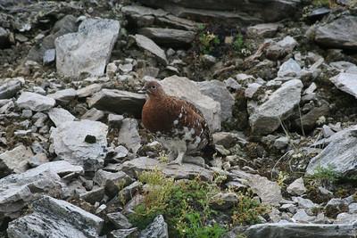 AK State Bird... Alaska Willow Ptarmigan -- Male